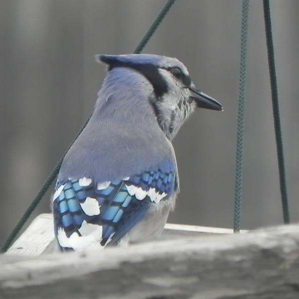 blue jay at a big feeder